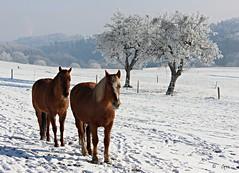 deux et deux ! (couleurs gm) Tags: chevaux horses arbres hiver neige winter couleursgm snow