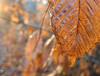 (only lines) Tags: beech leaf