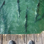 Feeding Tarpon at Robbie's of Islamorada.