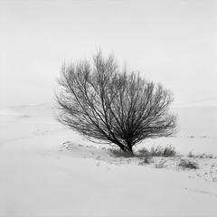 Shrub, Washington (austin granger) Tags: shrub washington palouse snow winter cold branches texture stark square film gf670