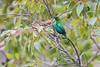 DSC_7491 (mylesm00re) Tags: africa hottentotshollandmountaincatchmentarea jangroentjie malachitesunbird nectariniafamosa nectariniidae southafrica westerncape za bird