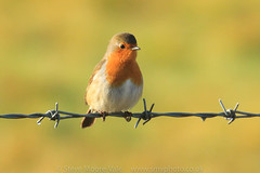 European Robin (Steve Moore-Vale) Tags: birds erithacusrubecula europeanrobin florafauna kidwellyquay perched places unitedkingdom wildlife barbedwire bokeh green wales