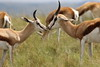 Springbok, Antidorcas marsupialis at Krugersdorp Game Reserve, Gauteng, South Africa (Derek Keats) Tags: antelope springbok naturereserves bovidae taxonomy:family=bovidae naturereserve mammals antidorcasmarsupialis nature taxonomy:binomial=antidorcasmarsupialis