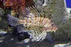 Lionfish (robsfrederick) Tags: lionfish georgiaaquarium