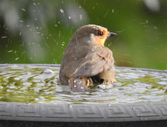 It may be freezing weather but I look after my feathers 1 of 2! (macfudge1UK) Tags: 2017 avian bath bbcspringwatch bird birdbath britain britishbird britishbirds coolpix coolpixp610 england fauna gb greatbritain nature nikon nikoncoolpixp610 oxfordshire oxon p610 robin rspbgreenstatus uk water waterdrops wet wildlife winter erithacusrubecula ©allrightsreserved coldsnaps goldwildlife