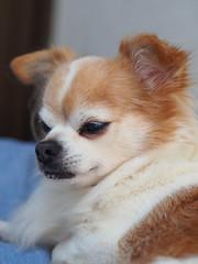 ピノ2017-01-23 13.49.53 (やんちゃなちわわ) Tags: ピノ pino 犬 dog チワワ chihuahua