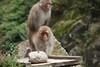 Ahum (iorus and bela) Tags: snowmonkeys japan monkey monkeys japanesemonkey yudanaka iorus bela september summer zomervakantie snowmonkeysinthesummer asia travel macaque japanesemacaque wild wildlife