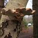 Birkenporling (Piptoporus betulinus) (01)
