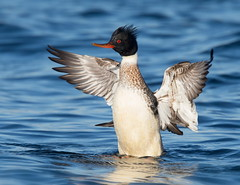 Drake Merganser wing flap (mandokid1) Tags: canon canon500f4 1dx birds duck waterfowl
