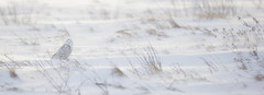 Snowy Owl MI January _E1U7609 Jan 2017 (www.sabrewingtours.com) Tags: winter snow michigan up upper peninsula bird northern brian zwiebel sabrewing nature tours photo tour snt birding bz animal outdoor snowy owl