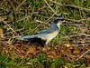 California Scrub-Jay--Aphelocoma californica (Polioptila caerulea) Tags: californiascrubjay jay scrubjay aphelocomacalifornica riverhillfarm nevadacounty california casj