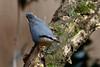 _F0A7576.jpg (Kico Lopez) Tags: galicia lugo miño sittaeuropaea spain trepadorazul aves birds rio