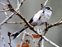 Please stay still! (pstone646) Tags: bird longtailedtit nature animal wildlife ashford fauna kent tree closeup ngc