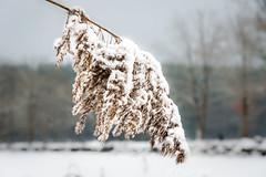 Kleiner Bischofsweiher, Schilfgras (Peter Goll thx for +11.000.000 views) Tags: 2017 dechsendorf erlangen franconian franken schnee winter snow germany gras lake pond weiher