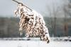 Kleiner Bischofsweiher, Schilfgras (pego28) Tags: 2017 dechsendorf erlangen franconian franken schnee winter snow germany gras lake pond weiher