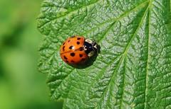 Lady Bug (Hugo von Schreck) Tags: hugovonschreck marienkäfer ladybug macro makro insect insekt canoneos5dsr tamron28300mmf3563divcpzda010 fantasticnature buzznbugz