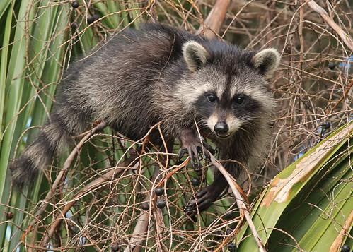 Raccoon (Procyon lotor) on Cabbage Palm (Sabal palmetto)