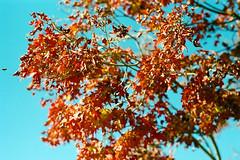 (Casey Lombardo) Tags: sananselmoca sananselmo marincounty marin filmphotography film filmgrain colorfilm colornegative minoltasrt101 filmscans kodak kodakfilm kodakgold kodakgold200 58mm tree trees plants plantlife bee honeybee bees honeybees foliage