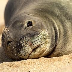 Hawaii Monk Seal (Prab Bhatia Photography) Tags: seal monkseal hawaii maui animal beach lounging