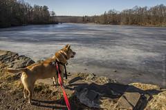 Lake Waywayanda_0383 (smack53) Tags: smack53 sasha dog pet animal waywayandastatepark vernon newjersey lake water ice rocks scenic scenery outdoors outside winter wintertime nikon d3100 nikond3100 statepark