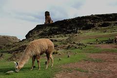 Sillustani (fishwasher) Tags: andes alpaca sillustani chulpas highlands puno peru newyear december 2010