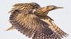 060.3 Roerdomp-20170120-J1701-43147 (dirkvanmourik) Tags: boetjevanonzekees castricum duinreservaat greatbittern roerdomp vogelsvannederland bird botaurusstellaris