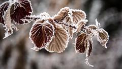 Frozen Raspberries (Daveography.ca) Tags: edmonton hoarfrost plant raspberry frozen winter leaves bush alberta frost leaf canada bushes cold snow ice