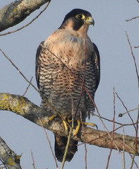 Peregrine Falcon at Pulborough Brooks RSPB Reserve. (dugwin2) Tags: female peregrine resting pulborough brooks rspb reserve crop bulging with teal meat