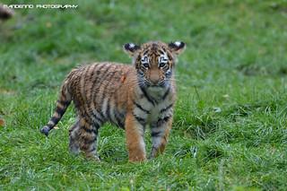 Siberian tiger cub - Zoo Duisburg