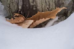 Tapie (jora63) Tags: hiver montagne neige snow winter blanc white feuille leave
