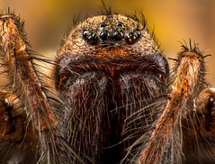 Tegenaria sp Stacking (Little Boy 09) Tags: canon eos 60d tamron 1750 f28 flash venus kx800 stack stacking high magnification macro macrodream araignée spider tegenaria sharp