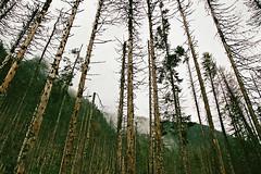 Dead forest (Tomasz Mikrut - Photography) Tags: tatry mountains foggy poland polska góry canon eos5 analog fujifilm pro400h pro f40 24mm 105mm is usm film analogue fuji misitical misty rainy atmosphere fujifilmpro400h canoneos5analog outdoor mist landscape sky tree forest peak