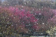 Plum grove park in sudden snowstorm. (kaycatt*) Tags: snowstorm plumblossom japan redplumblossoms