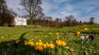 Krokusse im Ahrensburger Schlosspark