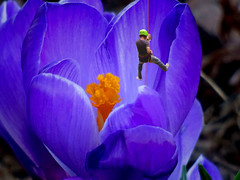 Whimsy (boriches) Tags: flower crocus climbing humor