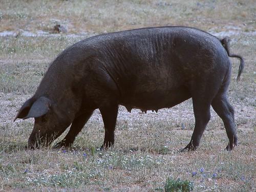 Cerdo Ibérico por dujarandille.