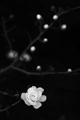 Sequence of Life (Mingfong) Tags: life light blackandwhite bw flower monochrome wisconsin painting interestingness story growth madison albumcover metaphor sequence stories  circleoflife   mingfong exploretop20   musicflyer  mingfongjan artbrochure sketchoflight mingfongphotography
