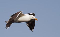 Aloft ('SeraphimC) Tags: sky bird delete10 canon delete5 350d delete2 fly wings delete6 delete7 seagull gull flight beak feathers save3 delete8 delete3 aves delete delete4 save save2 save4 save5 rebelxt save6 75300 avian avis aloft