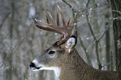 White-tail Deer 10 Point Side View (Hard-Rain) Tags: trees winter usa snow chicago game tree animals closeup forest illinois woods hiking wildlife hunting hike deer antlers rack trophy forestpreserve buck mountainbiking mammals stalk palos mammalia hunt whitetail deerhunting whitetailed odocoileus odocoileusvirginianus cervidae chordata artiodactyla 10point bullfroglake chicagoforestpreserve palosforestpreserve explore25 impressedbeauty