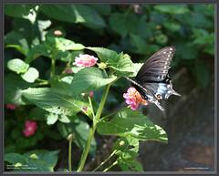 Butterfly in Walled Garden