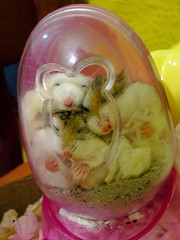 4 in an egg (jade_c) Tags: pet animal sushi mammal rodent singapore sleep tofu pudding hamster roborovski dumpling  dwarfhamster  roborovskihamster phodopusroborovskii whitefaceroborovskihamster
