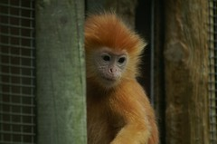Javan Langur - by tim ellis