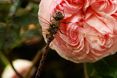 Dragonfly enjoying garden of Eden (tollen) Tags: pink roses rose ilovenature scary wings bravo dragonfly tail kind eden myyard gtaggroup goddaym1 eatsmosquitolarves seethroughwings