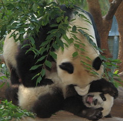 Mama still rules the nest during playtime (kjdrill) Tags: china california bear baby cute topf25 station animal giant mom zoo cub funny panda babies sandiego bears chinese mama research scream fv10 exquisite lmao baiyun comical natures pandas endangeredspecies feetsies sdzoo sulin 50faves colorphotoaward lmaoanimalphotoaward