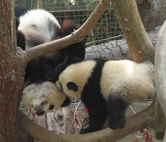 Even a bite from Su will not stop Bai Yun from hanging upside down (kjdrill) Tags: china california bear baby station giant mom zoo cub funny panda play sandiego bears chinese mother research chin baiyun comical offspring pandas endangeredspecies sdzoo sulin on4