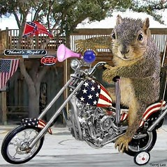 BORN TO BE WILD (Terry_Lea) Tags: chopper squirrel squirrels harley rider photoshopfun bikeweek tbas rideit