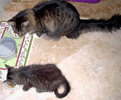 Whatcha got there kid? (Kendra88USA) Tags: cats furry kittens mainecoon