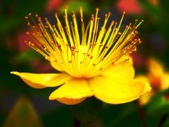 Explosion (honey3bun) Tags: flower nature yellow garden explosion kiss2 kiss3 kiss1 kiss4 kiss5 someoneelsesgardenactually suprisednobodycalledthepolice welldoneyou