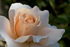 Just Joey sunset (debunix) Tags: 2005 roses macro june garden peach livermore ginnys