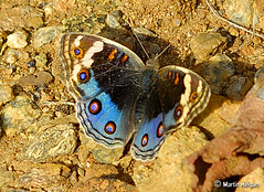 Butterfly baking in the sun (Martin_Heigan) Tags: africa camera macro nature digital butterfly southafrica nikon close martin south july 2006 photograph d200 dslr gauteng 60mmf28micro junonia nikonstunninggallery heigan fcbm wsnbg mhsetinsects junoniaorithyra